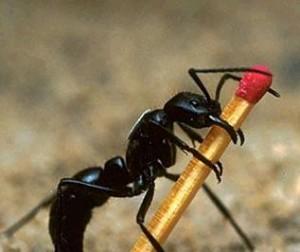 hormigacerillo